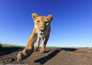 10.-Lioness-walking-head-on-close-focus-wide-angle-Serengeti-Tanzania
